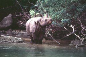 Jávai orrszarvú természetes élőhelyén