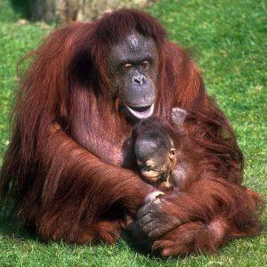 Szumátrai orangután nőstény gyengéden óvja kölykét