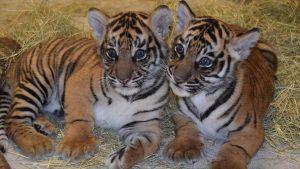 Szumátrai tigriskölykök