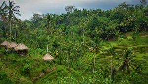 Kávéültetvény Balin