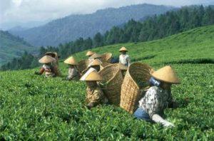 Tea betakarítása