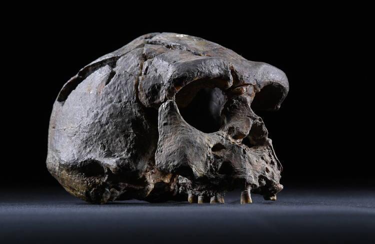 Jávai előember koponyája