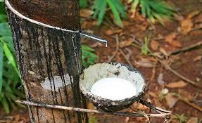 Kaucsukfa gyűjtőedénnyel